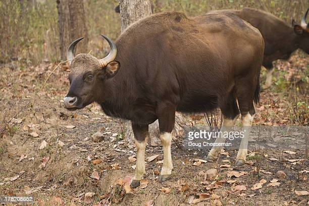 gaur/india bison/bos gaurus - bos stock pictures, royalty-free photos & images