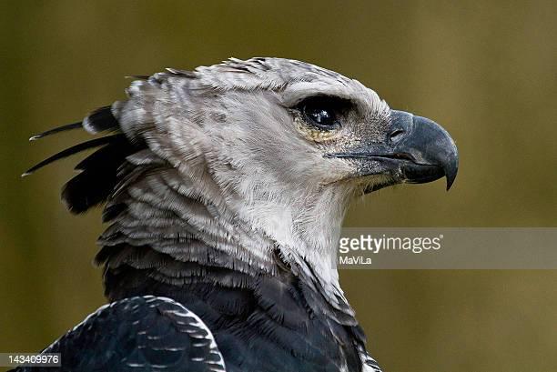 Gavião-real  ( Harpia harpyja )