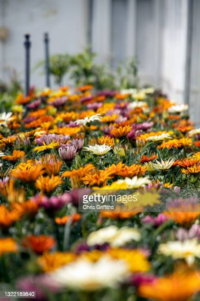 gazania flowers growing in propagation room - flower stock pictures, royalty-free photos & images