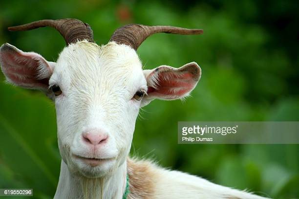 gaze of village goat - chivas fotografías e imágenes de stock