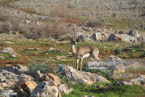 """Gazella gazella"""" type mountain gazelle is seen as the number of species reached 757 at the end of 2018, 925 in 2019, and 1141 at the end of last year..."""