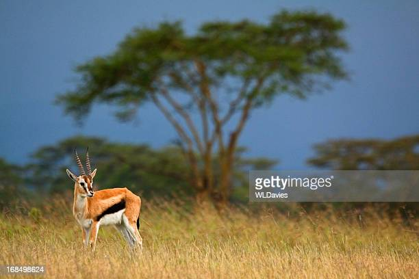 gazelle against stormy landscape - lake nakuru stock photos and pictures