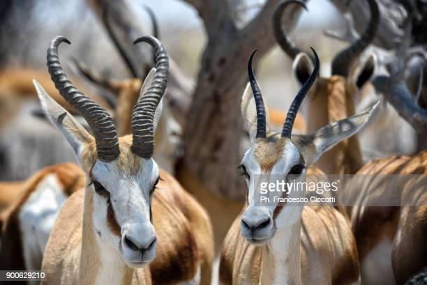 gazelle - springboks stock photos and pictures