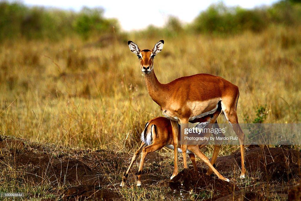 Gazelles : ストックフォト