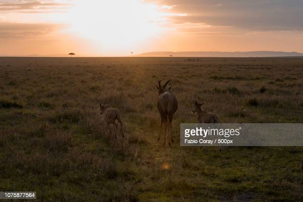 Gazelles run towards the sun