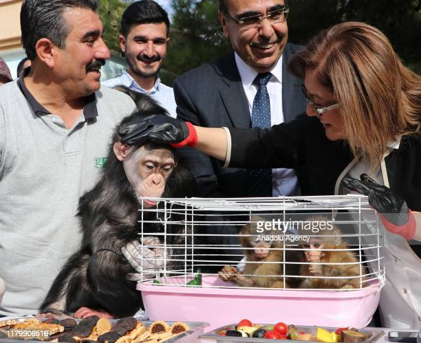 Gaziantep Metropolitan Mayor Fatma Sahin takes care of two macaque monkeys named Fistik and Zeytin after they were rescued from illegal kidnapping at...