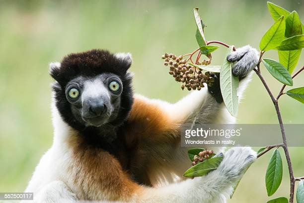 gazing lemur - lemur stock pictures, royalty-free photos & images