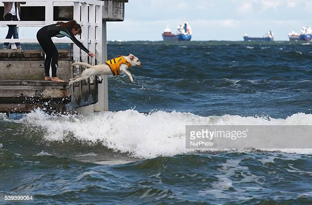 Gdansk Poland 11th June 2016 Dozen rescue dogs took part in the 2nd Water Rescue Dogs Cup of Poland in Gdansk Brzezno on the Baltic Sea coast...