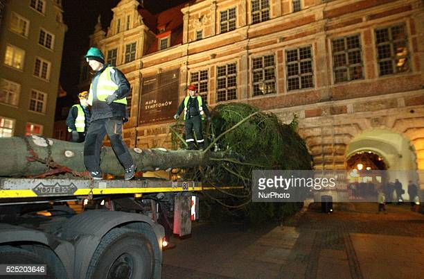 Gdansk Poland 28th November 2014 Christmas tree entered the Gdansk Old Town 25 meter spruce was cut in Forest District of Lipusz Over two kilometers...