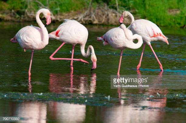 geater flamingos, phoenicopterus ruber,camargue, france - ガール県 ストックフォトと画像