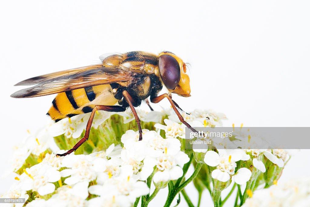 Geb‰nderte Waldschwebfliege (Volucella inanis) - Hoverfly (Volucella inanis) : News Photo
