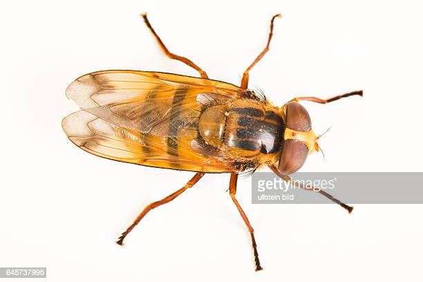 Geb‰nderte Waldschwebfliege Hoverfly