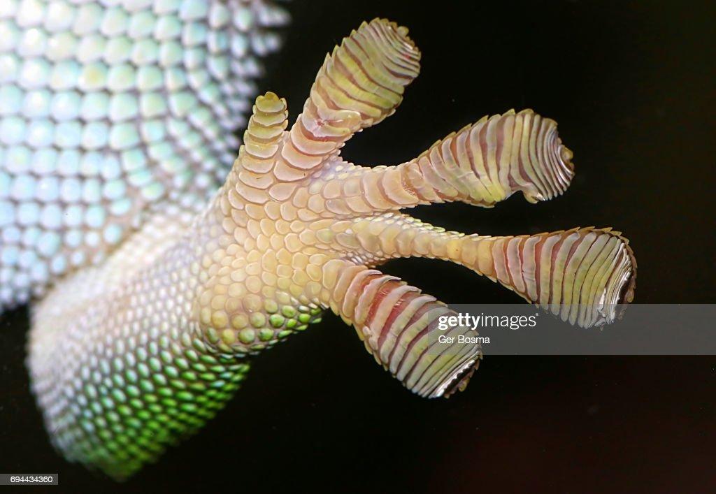 Gecko Adhesive Toe Pads : Stock Photo
