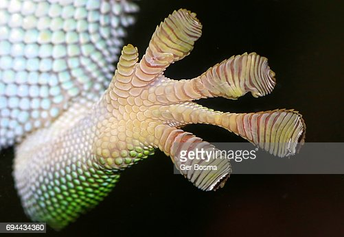 Gecko Adhesive Toe Pads