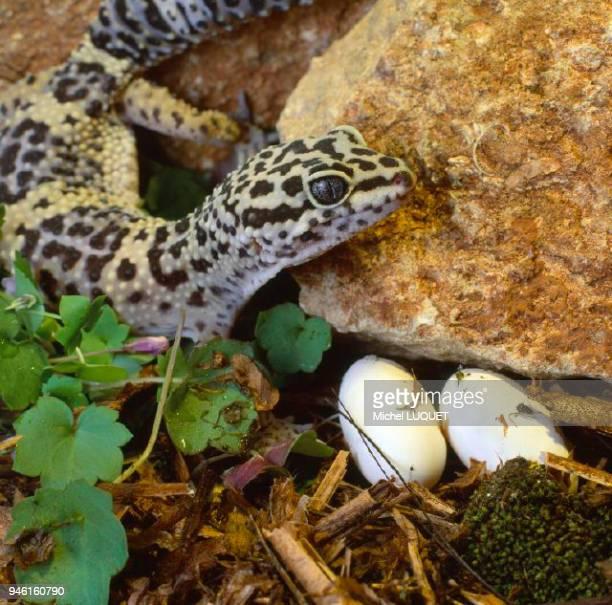Gecko adulte et oeufs