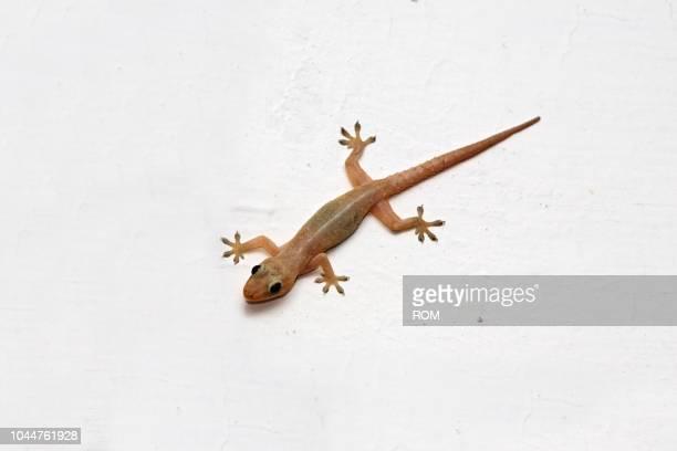 gecko (gekkinidae), banjarmasin, south-kalimantan, borneo, indonesia - squamata stock photos and pictures