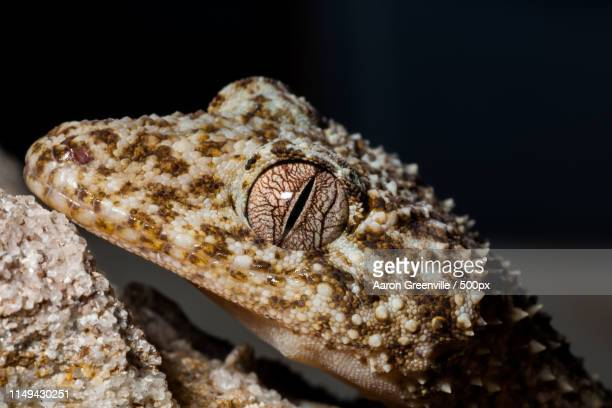 gecko eyes - uroplatus fimbriatus stock pictures, royalty-free photos & images