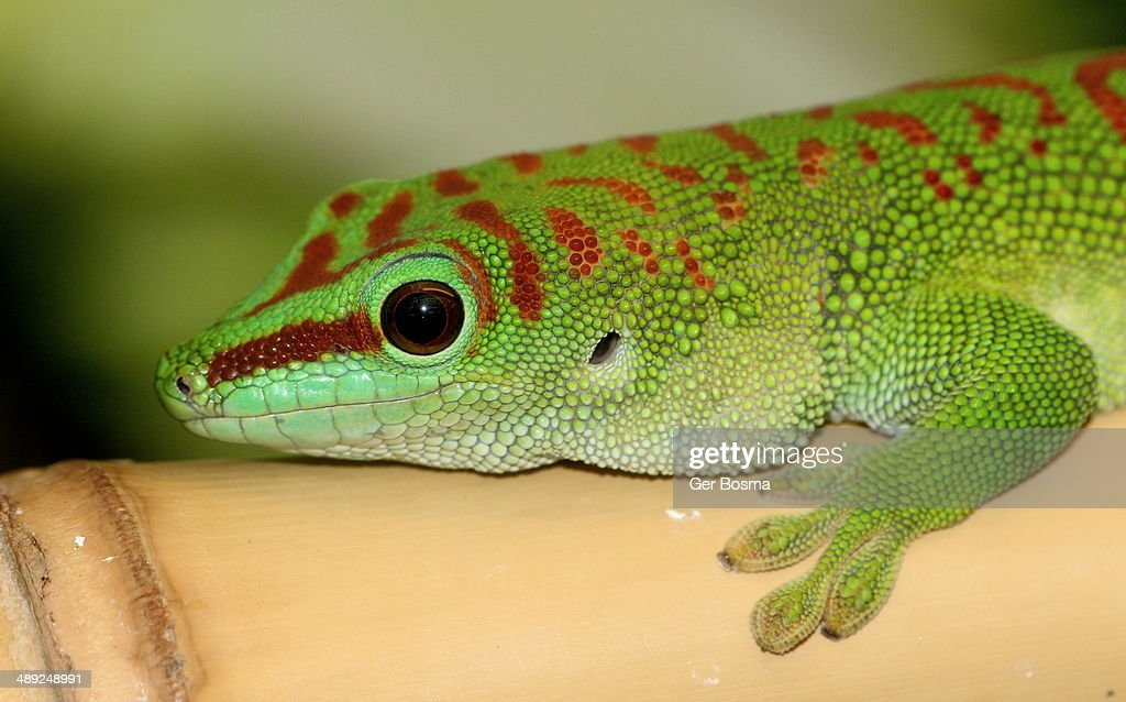 Gecko Guy Stock Photo Getty Images