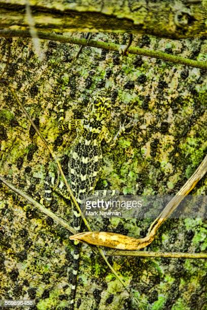 Gecko in Peruvian Amazon
