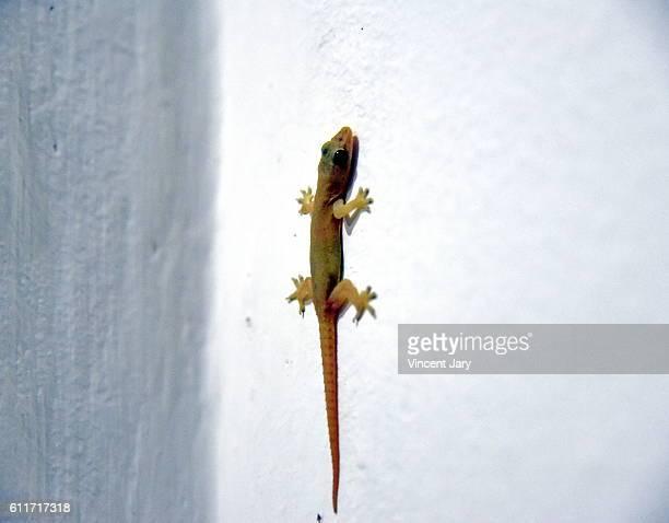 gecko lizard - geco foto e immagini stock