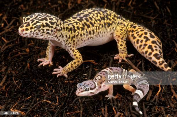 Gecko lopard adulte et nouveaun