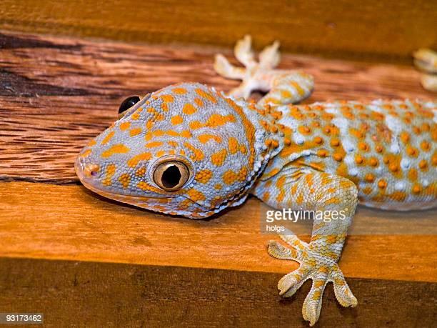 Gecko Makro