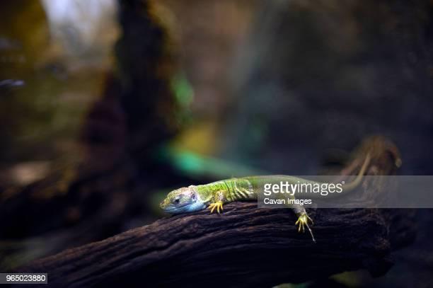 Gecko on tree branch