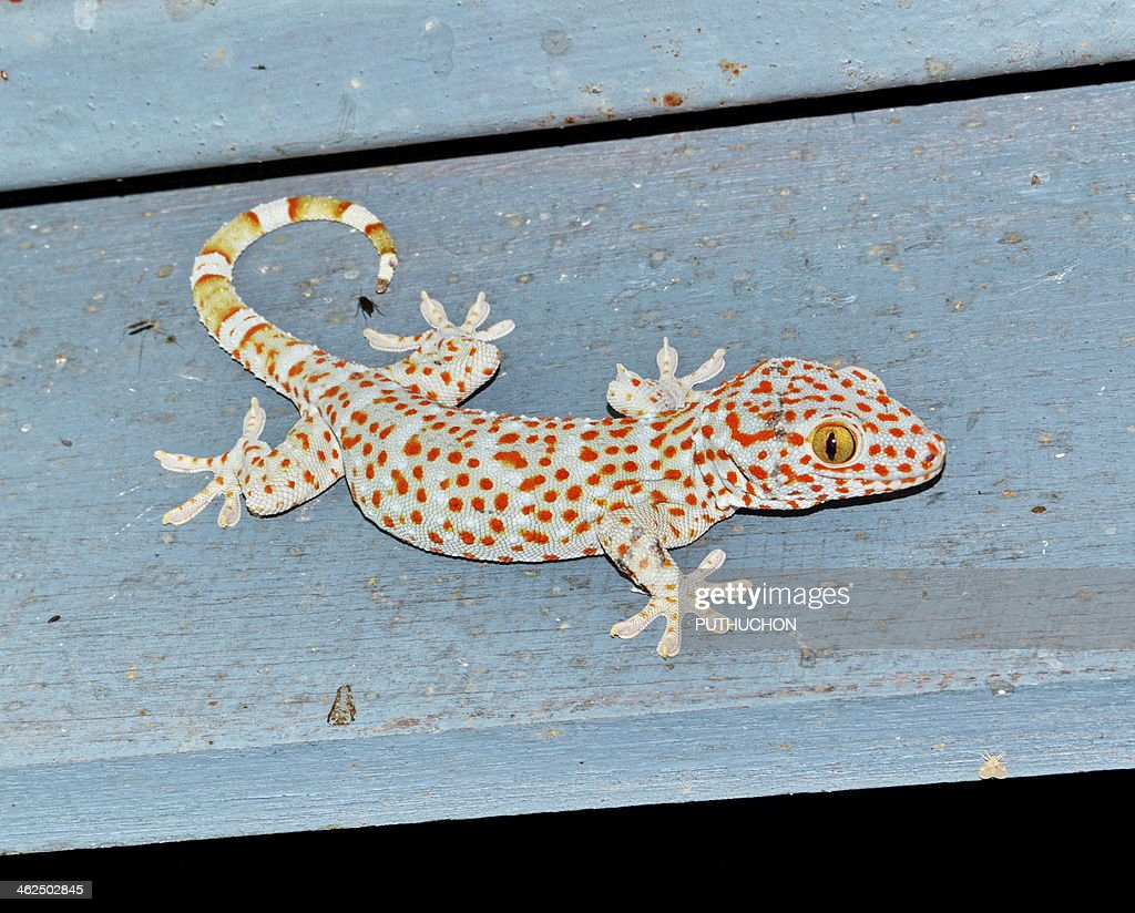 gecko (Gekkonidae) : Stock Photo