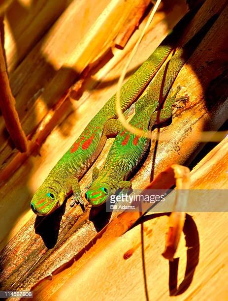 Gecko Shaka