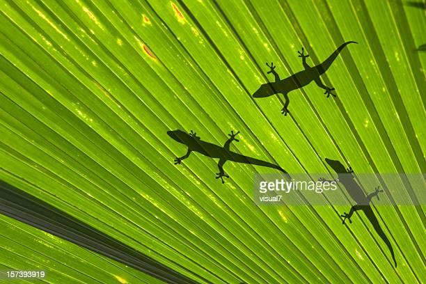 Gecko family