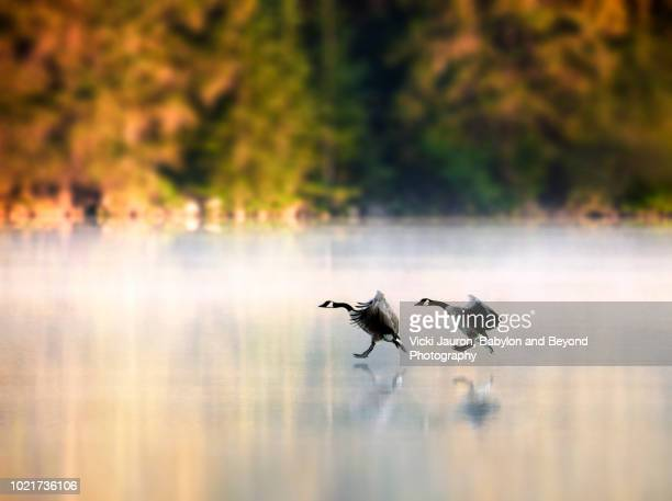 geese about to land on lake beauvert at sunrise in jasper, canada - canadian rockies stock pictures, royalty-free photos & images