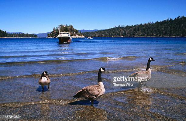 geese and boat, emerald bay. - emerald bay lake tahoe stock pictures, royalty-free photos & images