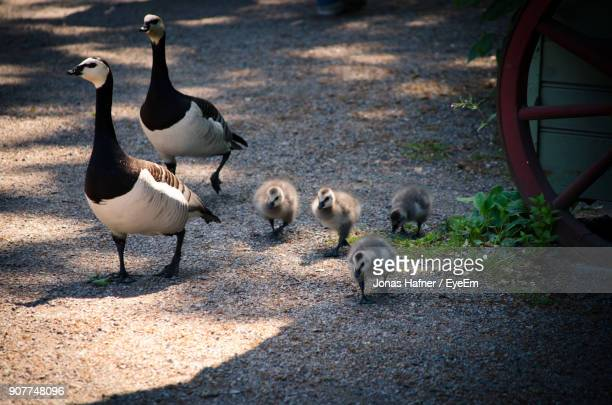 Geese And Goslings On Road
