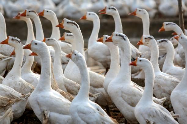 CHN: Goose Farm In Handan