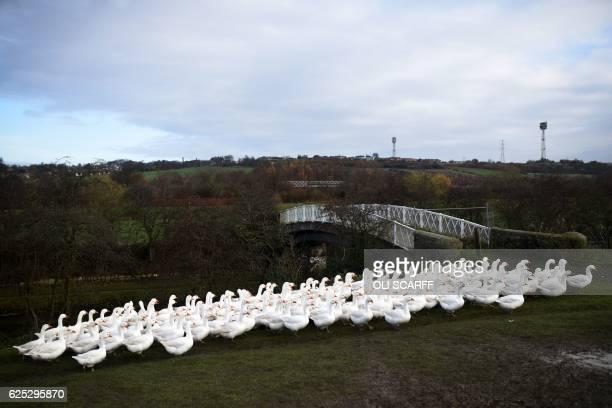 Geese are reared at poultry farmers Tim Lynne Lindley's 'Hostingley Farm Free Range' near Dewsbury northern England on November 23 2016 The turkeys...