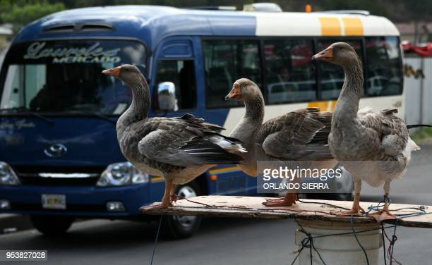 Geese are sold alive along an avenue of Tegucigalpa on May 2 2018