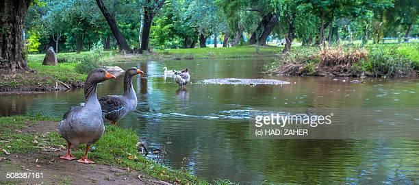 Geese at Tumut River