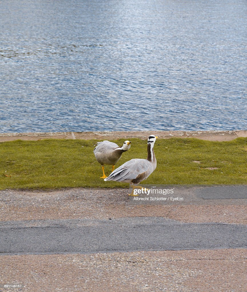 Geese By Calm Water : Stock-Foto