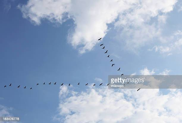 Geese Flock in V Formation Heading Into Bright Sunlight
