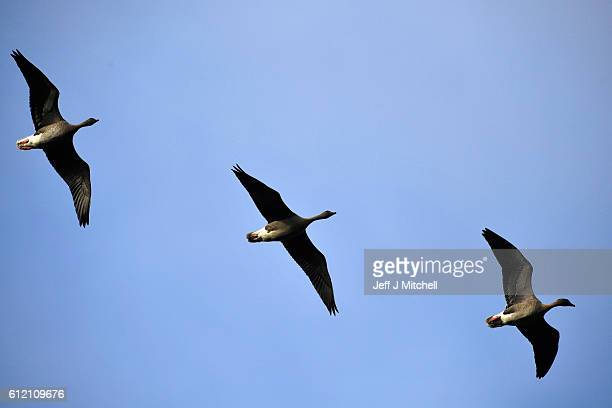 Geese fly over the Island of Foula on September 29, 2016 in Foula, Scotland. Foula is the remotest inhabited island in Great Britain with a current...