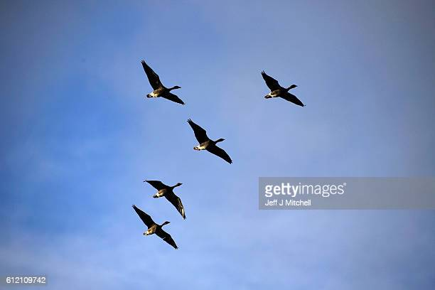 Geese fly over the Island of Foula on September 29 2016 in Foula Scotland Foula is the remotest inhabited island in Great Britain with a current...