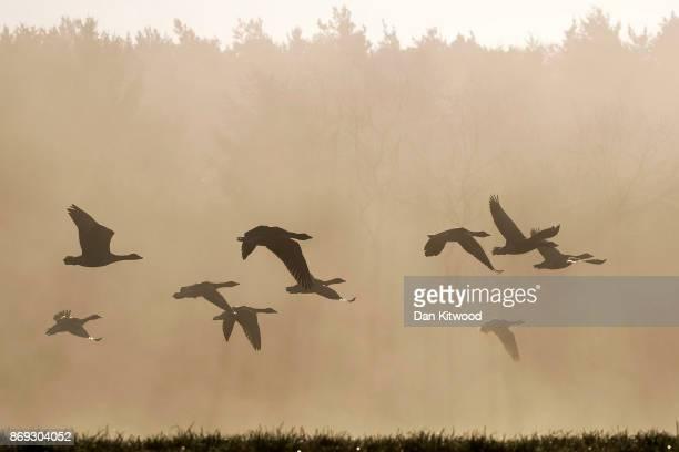 Geese fly through early morning mist on November 2 2017 in Sundridge England