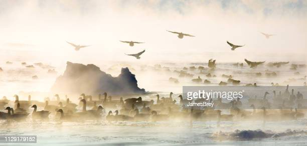 geese flying and swimming in steaming lake, subzero winter. - animals in the wild stock pictures, royalty-free photos & images