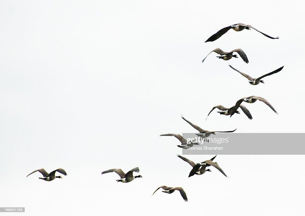 Geese Flying Away