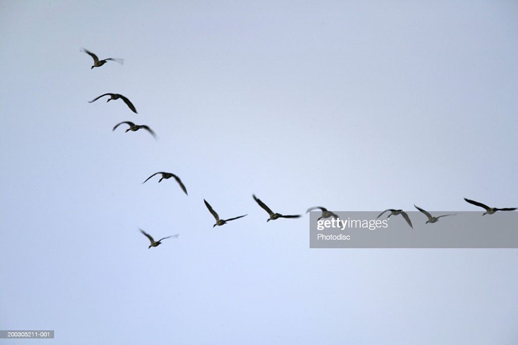 Geese flying in formation, low angle view : Stock Photo