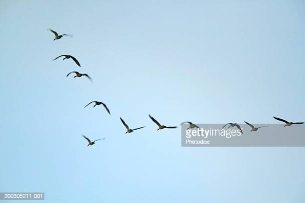 Geese flying in formation, low angle view