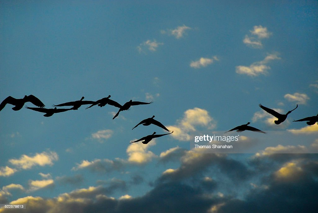 Geese Flying in Silhouette