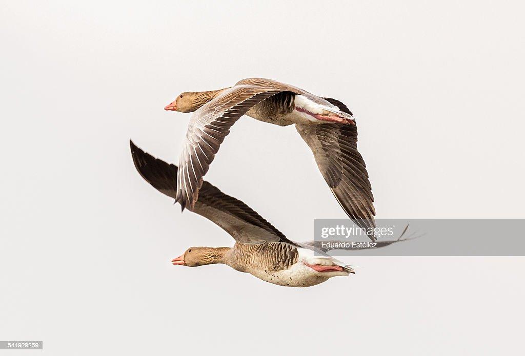 Ansar común.Two geese in flight photographed in the National Park Tablas de Daimiel. Spain