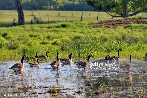 geese in a lake - amanda marsh stock pictures, royalty-free photos & images