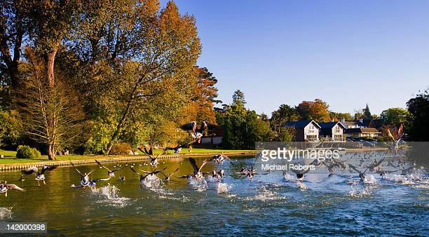 geese in flight on river - berkshire england stock-fotos und bilder